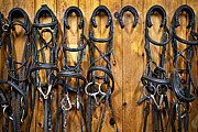 Rings Posters - Horse bridles hanging in stable Poster by Elena Elisseeva
