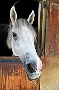Horse Stable Posters - Horse by its stable window Poster by Sami Sarkis