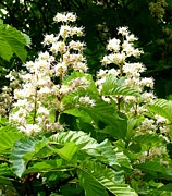 Large Leaves Prints - Horse Chestnut Blossoms Print by Will Borden