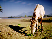 Grazing Horse Photo Posters - Horse Poster by Edward Lim