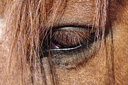 Forelock Photo Posters - Horse eye Poster by Cristina Lichti