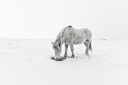 Grazing Snow Posters - Horse Grazing In Snow Poster by Ingólfur Bjargmundsson