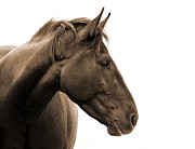Wild Horse Metal Prints - Horse Head Study Metal Print by Heather Swan