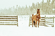 Corral Framed Prints - Horse In A Snowstorm Framed Print by Roberta Murray - Uncommon Depth