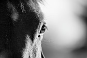 Focus On Foreground Metal Prints - Horse In Black And White Metal Print by Malcolm MacGregor