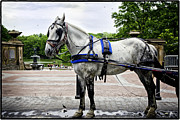 Bethesda Fountain Posters - Horse in Central Park Poster by Madeline Ellis