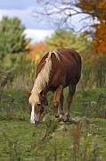 Horse Pasture Prints - Horse In Fall Pasture Print by Deborah Benoit