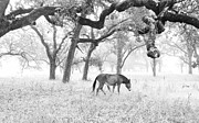 Grazing Horse Posters - Horse In Foggy Field Of Oaks Poster by CML Brown