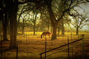 Gulf Coast States Posters - Horse In Morning Sun Eating Grass Poster by Photo by Jim Norris