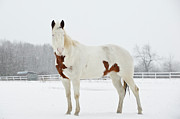 Standing Framed Prints - Horse In Snow Framed Print by Jesse James Photography
