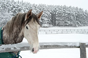 Coat Framed Prints - Horse Looking Over Fence During Snow Storm Framed Print by © Brigitte Smith