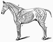 Horse Anatomy Prints - Horse: Muscle Structure Print by Granger