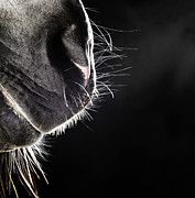Sensory Perception Posters - Horse Nose And Mouth Poster by Henrik Sorensen