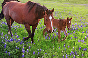 Three Animals Framed Prints - Horse On Bluebonnet Trail Framed Print by David Hensley