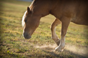 Sunset Light Posters - Horse Pawing In Pasture Poster by Steve Gadomski