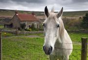 Rural Landscapes Photo Posters - Horse Peering Over Fence, North Poster by John Short