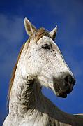 Horse Photo Posters - Horse portrait Poster by Gaspar Avila