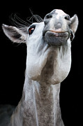 Black Head Photos - Horse Pulling Face by Peter Meade