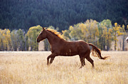 Fauna Posters - Horse Running Poster by Alan and Sandy Carey and Photo Researchers