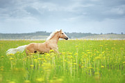 Overcast Day Posters - Horse Running In Field Poster by Arman Zhenikeyev - professional photographer from Kazakhstan
