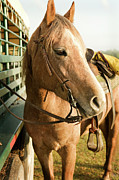 Tied-up Framed Prints - Horse Tied To Trailer Framed Print by April Bauknight