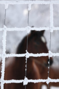 Snow Scene Digital Art Framed Prints - Horse viewed through frost covered fence Framed Print by Mark Duffy