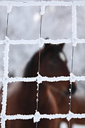 Snow Covered Fence Framed Prints - Horse viewed through frost covered wire fence Framed Print by Mark Duffy