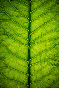 Macro Photo Originals - Horseradish Leaf by Steve Gadomski