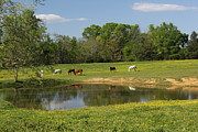 Pictures Of Horses Framed Prints - Horses Across The Pond Framed Print by Bob Whitt