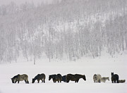 Wild Horse Prints - Horses And Aspen Trees On Hills In Snowstorm, Winter Print by David Epperson