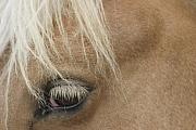 Blond Mane Framed Prints - Horses Eye Framed Print by Dagmar Ceki