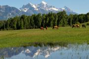 Grazing Horse Originals - Horses Graze in Tetons Reflection by Alan Lenk