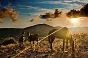 Lens Flare Posters - Horses Grazing At Sunset Poster by Finasteride