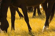 Grazing Horse Photo Posters - Horses Grazing Poster by Donovan Reese