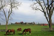 Farming Barns Framed Prints - Horses Grazing Framed Print by Natural Selection Tony Sweet