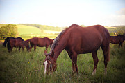 Wild Horse Prints - Horses Grazing Print by Olivia Bell Photography