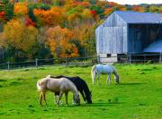 Fall Colors Art - Horses in Fall by David  Hubbs
