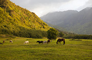 Grazing Horse Posters - Horses In Field,haena,kauai,hawaii Poster by Marc Romanelli