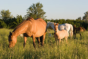 Wild Horses Prints - Horses in Green Grassy Pasture Print by Cindy Singleton