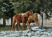 Theria Framed Prints - Horses in Snowy Field  - c5722a Framed Print by Paul Lyndon Phillips