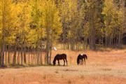 Horse Images Photo Framed Prints - Horses in The Autumn Aspens Framed Print by James Bo Insogna