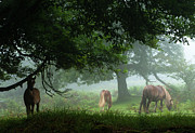 Grazing Horse Posters - Horses In The Mist Poster by Danyssphoto