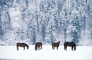 Mammalia Posters - Horses in the Snow Poster by Alan and Sandy Carey and Photo Researchers