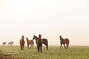Medium Group Of Animals Posters - Horses On Meadow At Sunrise Poster by Marcel ter Bekke