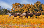 Autumn Metal Prints - Horses Running Free Metal Print by Susan Candelario