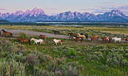 Grand Teton Framed Prints - Horses Walk Framed Print by Jeff R Clow