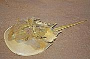 Crustacean Art - Horseshoe Crab by Kenneth Albin