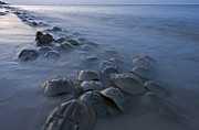 Featured Art - Horseshoe Crabs Crawling Ashore Delaware by Piotr Naskrecki