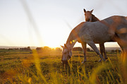 Grazing Horse Photo Posters - Hose Grazing In Rural Field Poster by Stefanie Grewel
