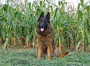 Alsatian Framed Prints - Hoss by Cornfield Framed Print by Sandy Keeton